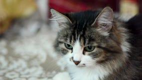 μαύρο λευκό πορτρέτου γα& συνδετήρας Όμορφη γραπτή αρσενική γάτα με τα πράσινα μάτια φιλμ μικρού μήκους