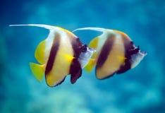 μαύρο λευκό butterflyfish Στοκ Εικόνα