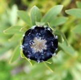 μαύρο λευκό protea Στοκ εικόνα με δικαίωμα ελεύθερης χρήσης