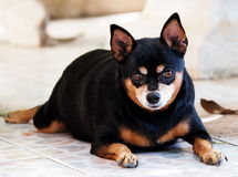 Μαύρο μικροσκοπικό σκυλί pinscher Στοκ Φωτογραφία