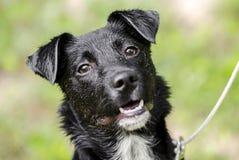 Μαύρο μικτό κόλλεϊ σκυλί κουταβιών φυλής στοκ εικόνες