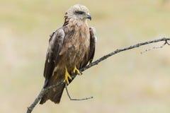 Μαύρο Μιλάνο (Milvus migrans) Στοκ εικόνες με δικαίωμα ελεύθερης χρήσης