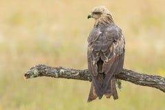 Μαύρο Μιλάνο (Milvus migrans) Στοκ Φωτογραφίες