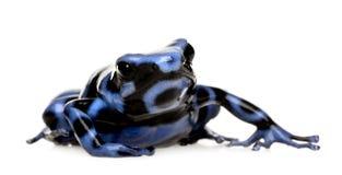 μαύρο μπλε δηλητήριο βατράχων βελών αύρας dendrobates Στοκ Εικόνες