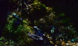 μαύρο μπλε δηλητήριο βατράχων βελών Στοκ Εικόνες