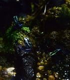 μαύρο μπλε δηλητήριο βατράχων βελών Στοκ φωτογραφίες με δικαίωμα ελεύθερης χρήσης