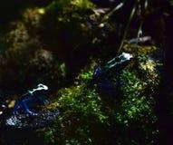 μαύρο μπλε δηλητήριο βατράχων βελών Στοκ Φωτογραφίες
