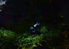 μαύρο μπλε δηλητήριο βατράχων βελών Στοκ εικόνα με δικαίωμα ελεύθερης χρήσης