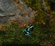 μαύρο μπλε δηλητήριο βατράχων βελών Στοκ φωτογραφία με δικαίωμα ελεύθερης χρήσης