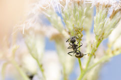 Μαύρο μυρμήγκι και aphids στην πράσινη φύση Στοκ Φωτογραφία