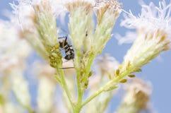 Μαύρο μυρμήγκι και aphids στην πράσινη φύση Στοκ Εικόνες