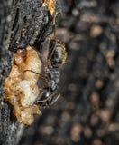 Μαύρο μυρμήγκι ξυλουργών (vagus Camponotus) Στοκ Εικόνα