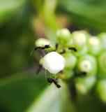 Μαύρο μυρμήγκι Στοκ Φωτογραφία