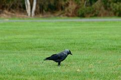 Μαύρο να προμηθεύσει με ζωοτροφές κοράκων στην πράσινη χλόη Στοκ Φωτογραφίες