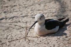 μαύρο ξυλοπόδαρο φτερωτό Στοκ Φωτογραφίες