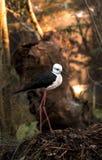 μαύρο ξυλοπόδαρο φτερωτό Στοκ εικόνες με δικαίωμα ελεύθερης χρήσης