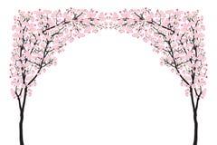 Μαύρο ξύλο καμπυλών ανθών κερασιών αψίδων δέντρων sakura πλήρους άνθισης ρόδινο που απομονώνεται στο λευκό Στοκ Εικόνες