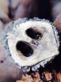 Μαύρο ξύλο καρυδιάς Shell Στοκ Εικόνες