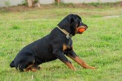 Μαύρο παιχνίδι Rottweiler με την πορτοκαλιά σφαίρα Στοκ Εικόνες