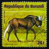 Μαύρο πιό wildebeest ή άσπρος-παρακολουθημένο gnou GNU Connochaetes, σειρά Στοκ φωτογραφίες με δικαίωμα ελεύθερης χρήσης