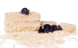 Μαύρο ποντίκι με δύο μικρά ποντίκια στο πριονίδι Στοκ Φωτογραφίες