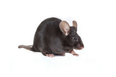 Μαύρο ποντίκι σε ένα άσπρο υπόβαθρο Στοκ Εικόνες