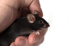 Μαύρο ποντίκι χρώματος σε ένα ανθρώπινο χέρι - που απομονώνεται στο λευκό Στοκ Φωτογραφία