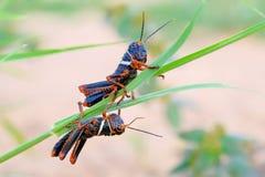 Μαύρο, πορτοκαλί grasshopper, Gran Chaco, Παραγουάη στοκ εικόνες