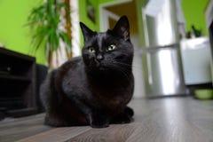 Μαύρο πορτρέτο γατών Στοκ εικόνα με δικαίωμα ελεύθερης χρήσης