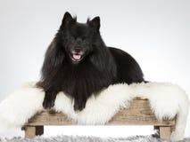 Μαύρο πορτρέτο σκυλιών Mittelspitz σε ένα στούντιο στοκ φωτογραφία