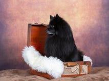 Μαύρο πορτρέτο σκυλιών Mittelspitz σε ένα στούντιο στοκ φωτογραφίες με δικαίωμα ελεύθερης χρήσης