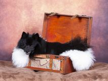 Μαύρο πορτρέτο σκυλιών Mittelspitz σε ένα στούντιο στοκ εικόνες με δικαίωμα ελεύθερης χρήσης