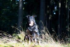 μαύρο πορτρέτο σκυλιών Στοκ Εικόνες