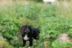 Μαύρο πορτρέτο σπανιέλ σκυλιών σε έναν πράσινο χορτοτάπητα χλόης στοκ φωτογραφία με δικαίωμα ελεύθερης χρήσης