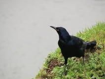 Μαύρο πουλί σε μια νεφελώδη ημέρα στοκ εικόνες