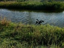 μαύρο πουλί στο έλος Στοκ Φωτογραφίες