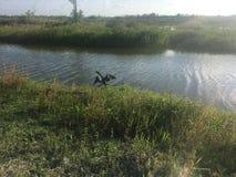 μαύρο πουλί στο έλος Στοκ Εικόνες
