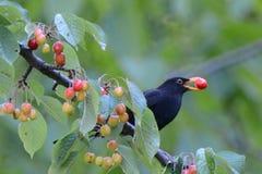Μαύρο πουλί στοκ εικόνες με δικαίωμα ελεύθερης χρήσης