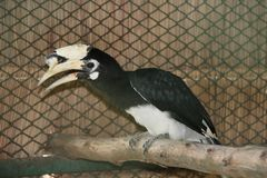 Μαύρο πουλί hornbill που σκαρφαλώνει στην ξηρά ξυλεία στοκ εικόνες