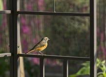 Μαύρο πουλί Redstart που σκαρφαλώνει σε ένα πλαίσιο Gazebo στοκ εικόνες
