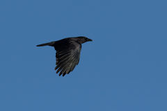 Μαύρο πουλί κατά την πτήση στοκ εικόνα