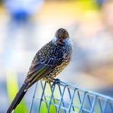 Μαύρο πουλί με τα άσπρα σημεία Στοκ Φωτογραφία