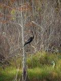Μαύρο πουλί φιδιών anhinga σε ένα έλος Στοκ Φωτογραφίες