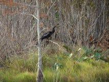 μαύρο πουλί φιδιών (anhinga) στο έλος Στοκ Εικόνα