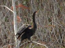μαύρο πουλί φιδιών (anhinga) στο έλος Στοκ Φωτογραφίες