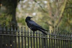 Μαύρο πουλί Στοκ φωτογραφία με δικαίωμα ελεύθερης χρήσης