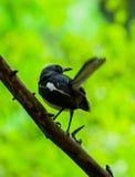 Μαύρο πουλί Στοκ εικόνα με δικαίωμα ελεύθερης χρήσης