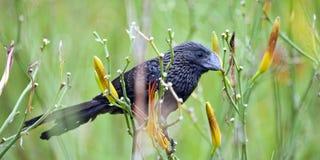 Μαύρο πουλί ani που σκαρφαλώνει στον ανθίζοντας κλάδο Στοκ εικόνα με δικαίωμα ελεύθερης χρήσης
