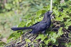 Μαύρο πουλί ani που σκαρφαλώνει στον πράσινο φράκτη Στοκ εικόνα με δικαίωμα ελεύθερης χρήσης