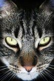 μαύρο πρόσωπο τιγρέ Στοκ φωτογραφίες με δικαίωμα ελεύθερης χρήσης